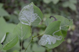This is damage caused by an insect which lives inside of leaves, usually a moth or a fly. Wasps can find bugs using signs like this, and many leaf miners can be identified by the patterns they carve inside the leaves. Photo credit: Greg Bllck License info: CC BY ND-NC-2.0