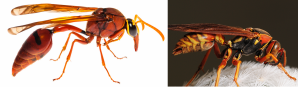 The wasp on the left, a potter wasp, has a long waist. The wasp on the right, a paper wasp, has a short waist. Potter wasp image: Stephane De Greef, used with permission. Paper wasp image credit: Mike Keeling License info: CC BY-ND 2.0