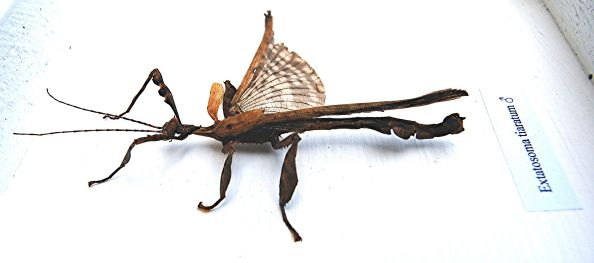 Male Australian Spiny Stick Insect (Extatosoma tiaratum) displayed so you can see his wings. PC: Python (Peter Rühr) (CC by 3.0)