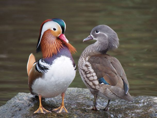 Here are a couple of ducks showing this. It's really common in birds.  The left one is male. PC: Francis C. Franklin  (CC by SA 3.0)