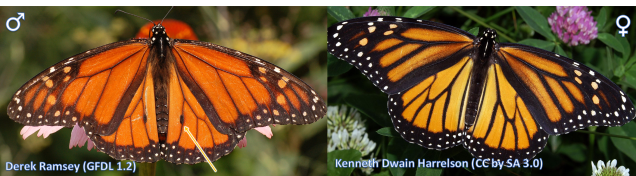 Male (left) and female (right) monarch butterflies (Danaus plexippus).