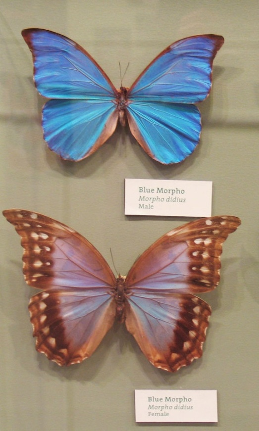 Male (top) and female (bottom) of the Giant Blue Morpho. PC:  Kayla Willis
