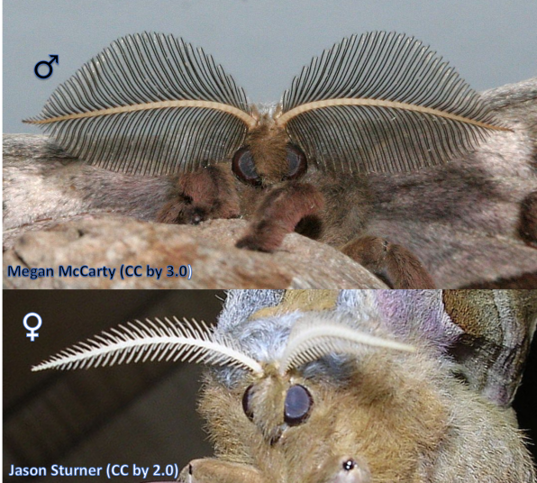 Polyphemus moth (Antheraea polyphemus) antennae showing the male (top) and the female (bottom).