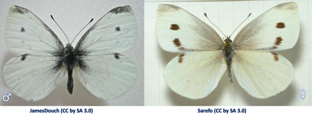 Male (left) and female (right) Cabbage White Butterflies  (Pieris rapae).