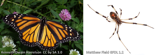 Left: The Monarch butterfly has toxins from the milkweed plant that its caterpillar eats.  Right: Black widow spiders are most easily recognized by their red hourglass markings. They're one of the most dangerous spiders in the US,