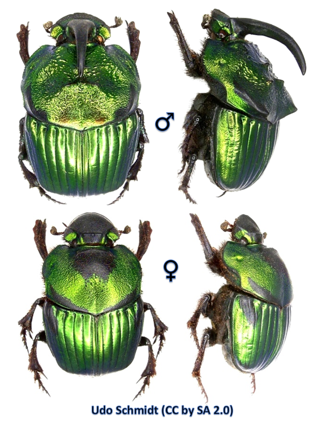 Male (top) and female (bottom)  Scarab Beetles (Phanaeus mexicanus)