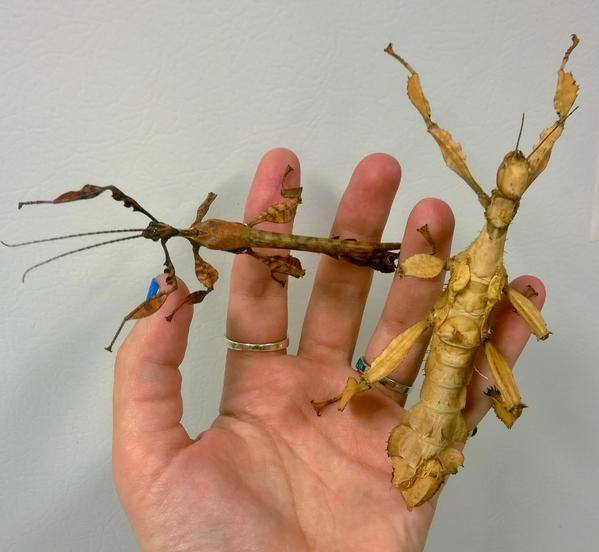 The Australian Spiny Stick Insect male (left) and female (right).  PC: Nancy Miorelli
