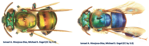 So here's a couple other Orchid Bees.  Left: Euglossa dodsoni Right:  Euglossa cyanura