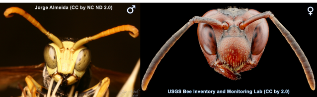 These are two different species of Paper Wasp (Polistes) but curly antennae trick still works in this group.