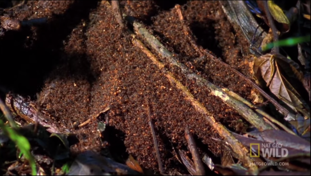 An army ant bivouac as seen in the video above. It's just a tent of bodies.