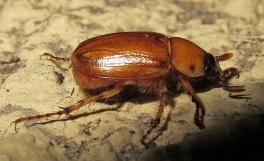 Cyclocephala sp, also known as the Masked Chafer, is one of the more common June Beetles.  Picture courtesy of K Schneider via Flikr License info: CC-BY-NC 2.0