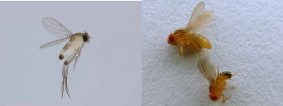 Two very common flies which infest houses: coffin flies (left), and vinegar flies (right). If you look closely at the wings, you can see the differences in wing veination. Their behavior is also very different, with coffin flies preferring to scuttle about on the ground, and vinegar flies preferring to fly around the kitchen. Photo Credit: John Tann via Flikr, slightly modified License info: CC BY 2.0