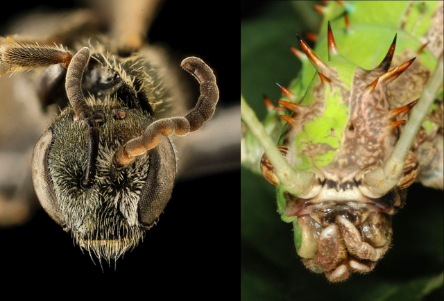 Both of these bugs are half boy and half girl, split down the middle. The bee on the left has a slightly different way of making different sexes than the phasmid on the left. Picture credit/License info: Bee: Sam Droege/Public Domain Phasmid: Acrocynus/CC-BY-SA 1.0