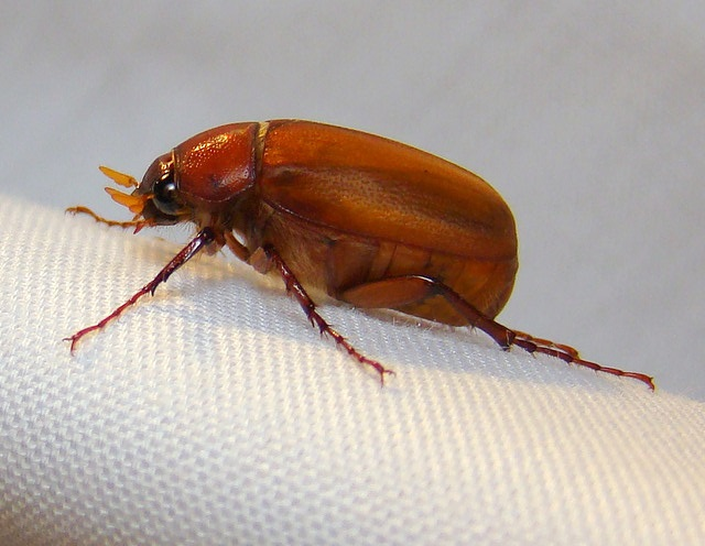 June beetles: what are they, and how do I deal with them