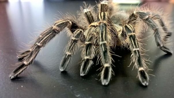 I love this tarantula. I'd take Ziggy home in a heartbeat if she didn't belong to UGA.