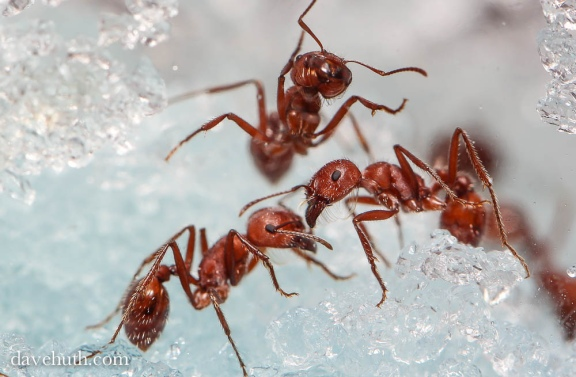 This is what you get in ant farms. Be careful though, they have a really painful sting! PC: Dave Huth (CC by NC 2.0)