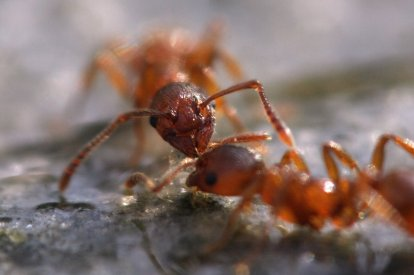 Ants 'talk' to one another by tapping each other with their antennae, and this picture shows two ants having a pleasant conversation. Picture credit: Dzlpl, via Flikr. License info: CC-BY-SA 2.0