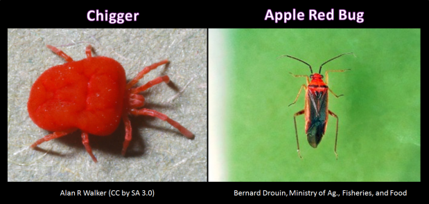 These are both called red bugs. The chigger is called a