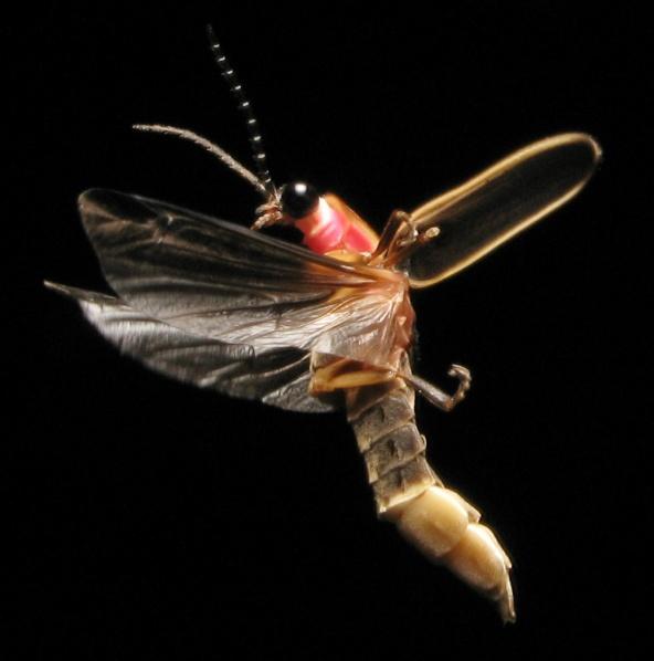 A firefly in flight.  PC: art farmer (CC by SA 2.0)