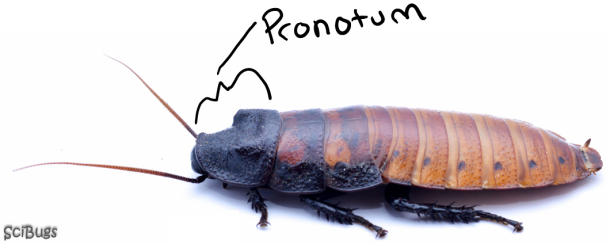 The pronotum in cockroaches is hardened and covers to the head to protect it.  PC: Nancy Miorelli