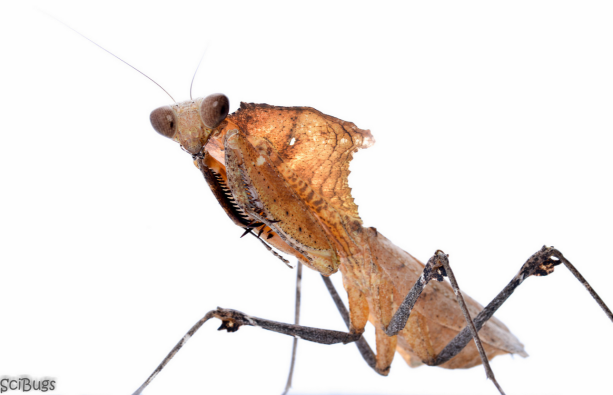 Be brave and say hi! Dead Leaf Mantis (Deroplatys desiccata). Native to Malaysia.  PC: Nancy Miorelli