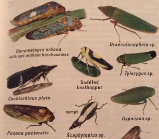 In this field guide, several sharpshooters (Cicadellidae) are only listed to the genus level. PC:  Kenn Kaufman and Eric Eaton from the Kaufman Field Guide to insects of North America