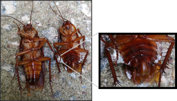 These cockroaches were dead prior to the initiation of the experiment.  The female American Cockroach (right) sustained falling damage.