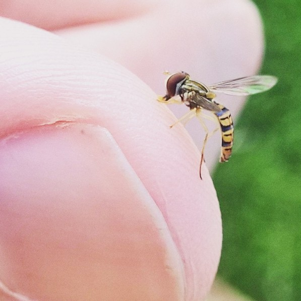 """Just thirsty, and want to lap up some salt"" says the little hover fly to the large human."