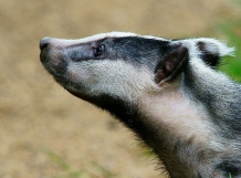 Contrary to popular belief, honey badgers care deeply about a lot of things. Picture credit: Peter Trimming, via Flikr License info: CC BY 2.0
