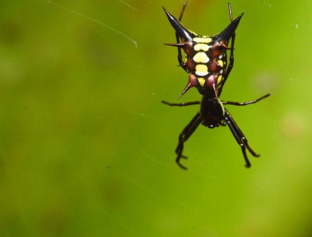 They have different kinds of networks there;. (Arrowhead Spider Micrathena sp.)