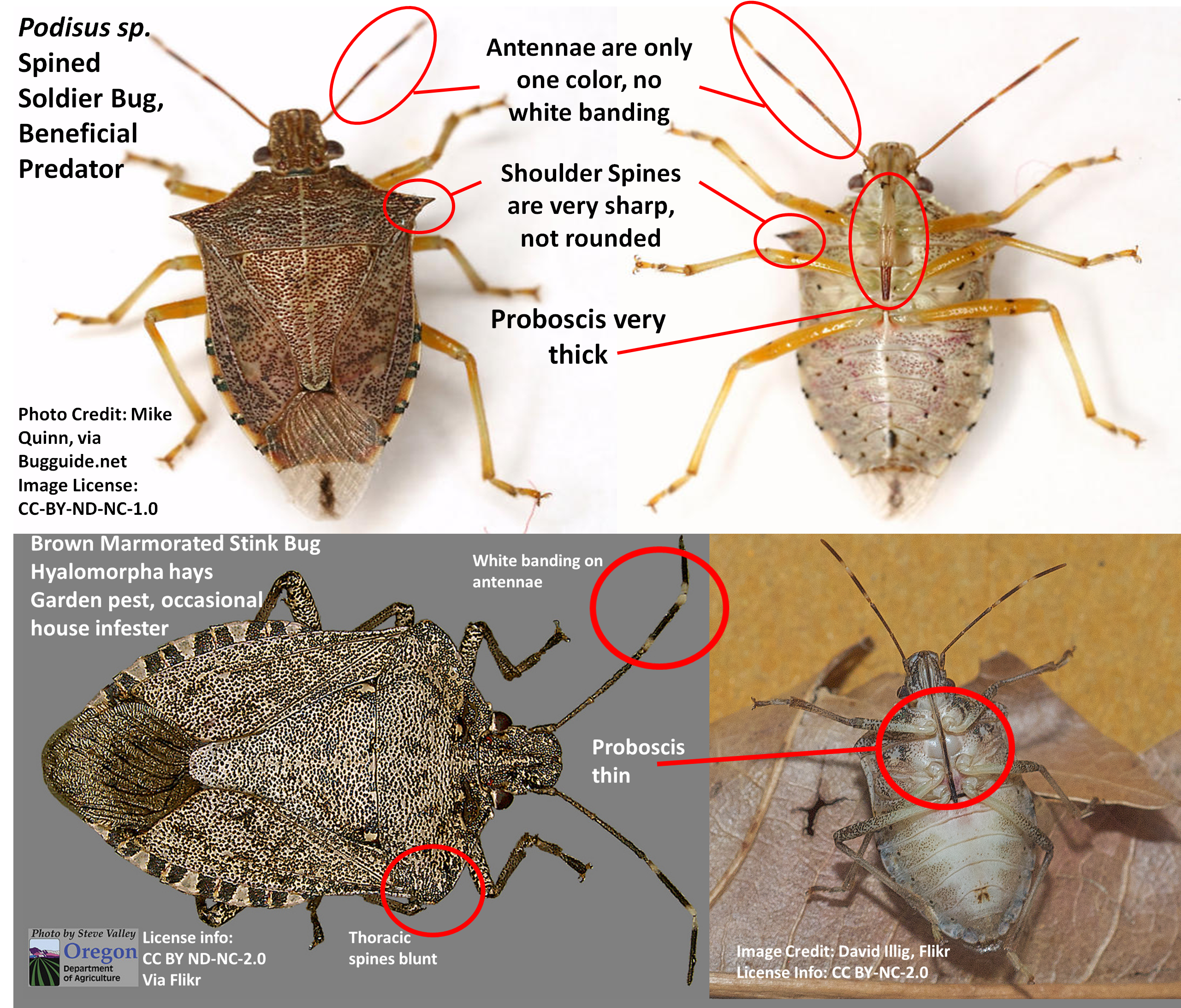Stink bugs: Telling the good ones from the bad ones. | Ask an ...