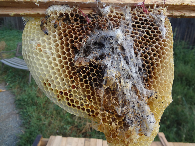 Wax moths are caterpillars which burrow through wax frames, and eat the coocoons bees leave behind when they emerge. Bees don't like them because they destroy their house as they eat, as seen in this picture. Picture credit: di.wineanddine, via Flikr License info: CC-BY-NC-SA-2.0