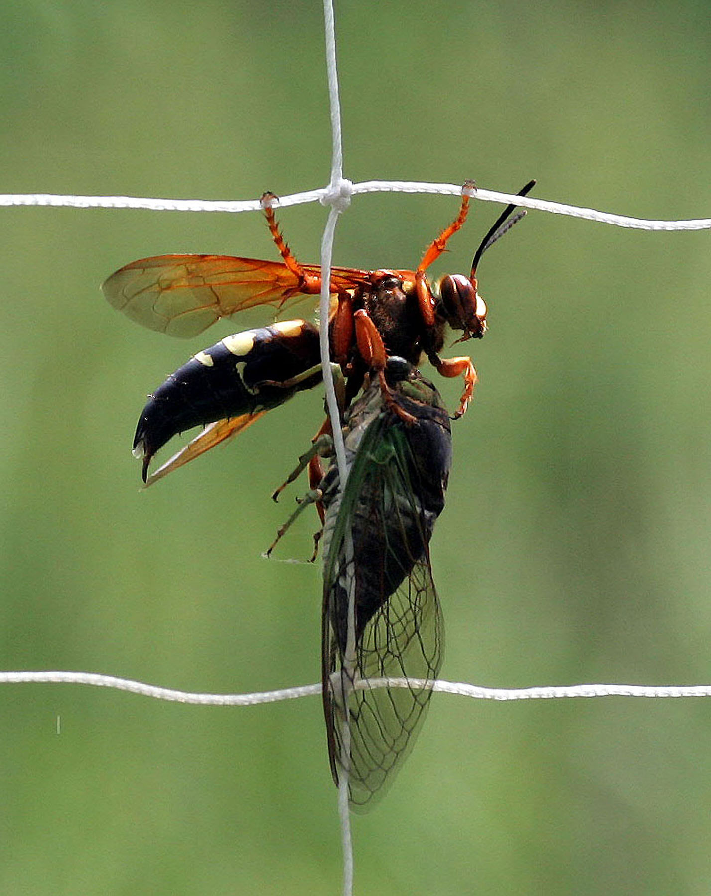 Why are cicadas showing up dead on my porch? | Ask an Entomologist