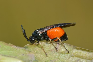 Pergid sawfly demonstrating how ovipositor is used in the most primitive wasps. Picture credit: Jean and Fred via Flikr License info: CC-BY-NC-2.0