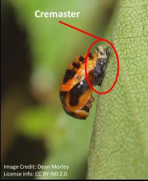 Ladybug cremaster