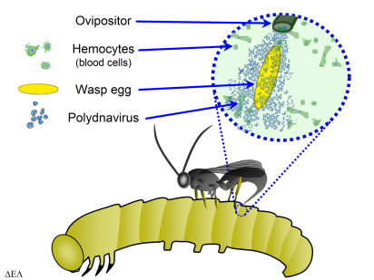 Diagram demonstrating how Polydnaviruses are introduced into hosts during parasitism. Image Credit: Ikehiker, via Wikimedia Commons License info: Public Domain
