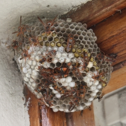 To move this nest, you would need to capture all these wasps alive and snip the nest off the awning. Image credit: Duncan Drennan License info: CC BY-NC 2.0