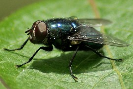 Blue-bottle fly, also known as a blowfly. Likes: long walks on rotting corpses. Dislikes: Earthworms Image credit: DRSPIEGEL14, via Flikr License info: CC BY-NC-ND 2.0