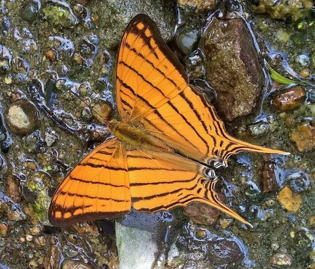 Puddling butterfly in the Maquipucuna Ecolodge in Ecuador.