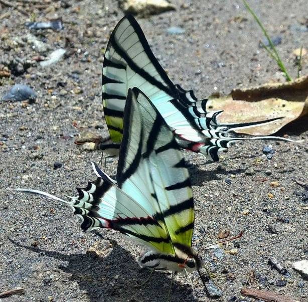 Puddling swallowtails. PC: Nancy Miorelli
