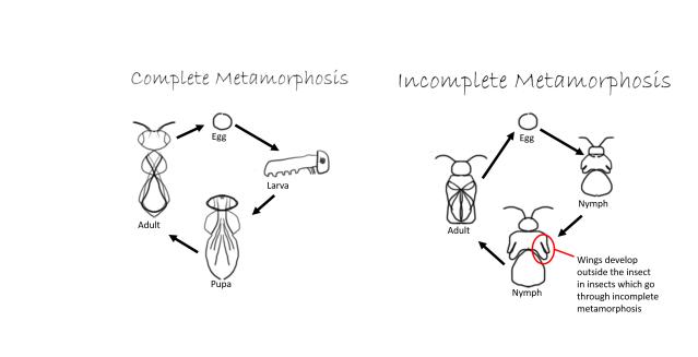 Metamorphosis final