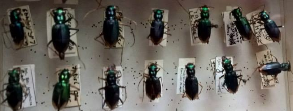 Tiger Beetles in a collection in Cuba showing label data from several periods.