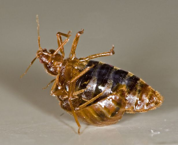 A male bed bug just stabbing a female to impregnate her. PC: Rickard Ignell (CC by SA1.0)