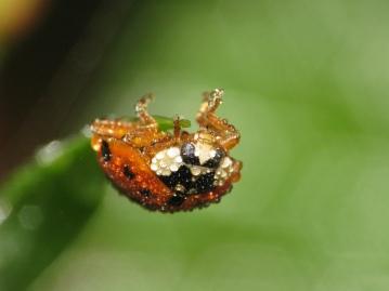 water beading on beetle