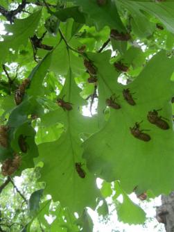 Cicada exoskeletons