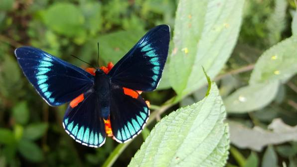 This gorgeous metalmark will probably only flit around for a few weeks PC: Nancy Miorelli