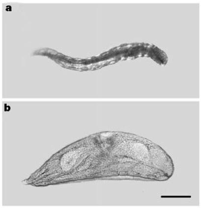 Copidosoma larvae