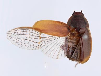 Diploptera