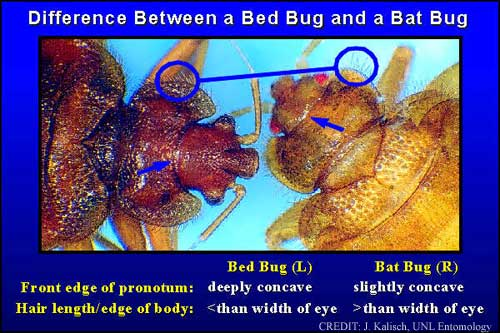 Bed Bugs and Bat Bugs look basically the same! Even to Joe and me, so we'll tell you that we think you should contact a professional if something is looking fishy. From: University of Nebraska - Lincoln.