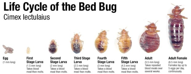 If you find a bug that looks like this, it's time to bring it in for further insepection. PC: Bez Valley Pest Control